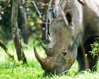 Free White Rhino, Uganda Royalty Free Stock Photography - 94332817