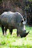 White Rhino, Uganda Stock Images