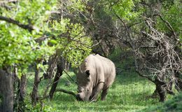 White Rhino, Uganda. Ugandan white rhino in the Ziwa Rhino Sanctuary royalty free stock images