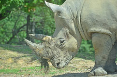 White Rhino. A white rhino uses its large horns for digging with roots and earth still attached Stock Image