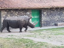 White rhino walking after bathing in mud, in a zoo. Mammal and herbivorous, species threatened, animal with grey skin and with two horns, originating in the Royalty Free Stock Image