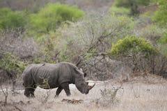 White Rhino, South Africa Stock Photos