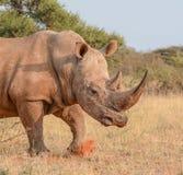 White Rhino Walking Stock Image