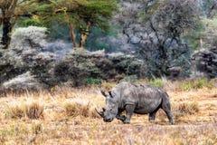 White Rhino Walking Side in Lake Nakuru Kenya stock photo