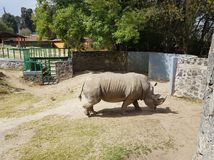 White rhino walking in a zoo. Mammal and herbivorous, species threatened, animal with grey skin and with two horns, originating in the African savanna Stock Photo