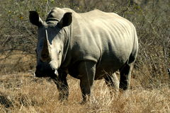 White Rhino. The rhino was aside the road to Berg en Dal in the Kruger Park Royalty Free Stock Images