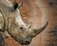 White rhino. This rhino was seen crossing a track in the Amakhosi game park in KwazuluNatal South Africa. These beautiful animals are poached mercilessly for Royalty Free Stock Image