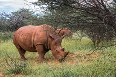 White rhino, Waterberg Plateau National Park, Namibia Stock Image