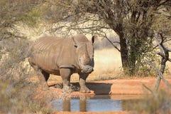 White rhino at waterhole Stock Photos