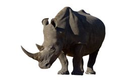 White Rhino on white background. White Rhino with large horns isolated on a white background Royalty Free Stock Photo
