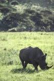 White Rhino. Ceratotherium simumHluhluwe National Park, Kwa-Zulu Natal, South Africa Royalty Free Stock Photo