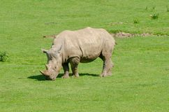 A White Rhino. Grazes in the sunshine Stock Photography