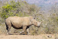 White Rhino in wild, natural setting Stock Images