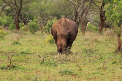 White rhino in the wilderness. Wild rhinoceros in the national park Mkuze in Kwazulu Natal in South Africa stock images
