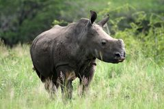 White rhino young Stock Image