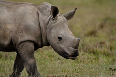 White rhino young, Kenya Royalty Free Stock Images