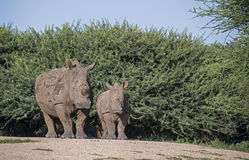White rhino with young. White rhon oceros with young one in africa kruger park stock photography