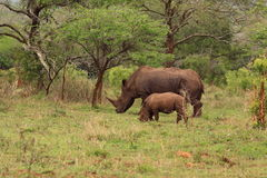 White rhino with young in the wilderness. Wild rhinoceros and youngster in the national park Mkuze in Kwazulu Natal in South Africa stock image