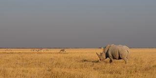 White rhino with zebra herd, etosha nationalpark, namibia. White rhino with zebra herd, panorama, etosha nationalpark, namibia, ceratotherium simum Royalty Free Stock Photography