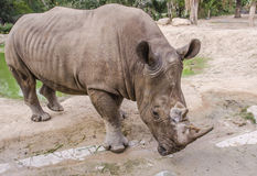 White rhino. In the zoo at thailand royalty free stock photos