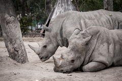 White Rhino. In zoo thailand Stock Image