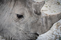 White Rhino. In zoo thailand Stock Photos