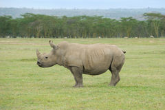 White Rhinocero Royalty Free Stock Photography