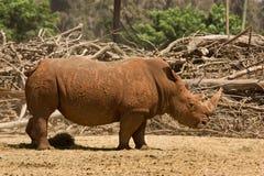 White Rhinoceros. Wild White Rhinoceros , Ceratotherium simum Royalty Free Stock Photos