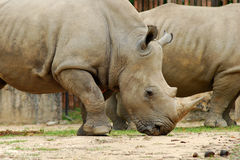 White Rhinoceros. In a natural park Stock Photo