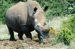 White Rhinoceros. Portrait of white rhinoceros outdoor with green bush or thicket in background Stock Photos
