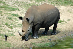 White rhinoceros. By side of watering hole Stock Image