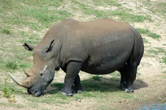 White rhinoceros. Side portrait of white rhinoceros on grassland Stock Photo