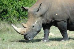 White Rhinoceros. Side portrait of white rhinoceros outdoors Stock Photo