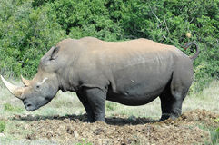 White rhinoceros. Side view of white rhinoceros with bushes or green thicket in background Royalty Free Stock Photos
