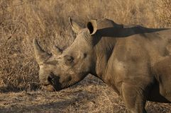 White Rhinoceros. Standing in grass Royalty Free Stock Images