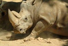 White rhinoceros. Large and strong white rhinoceros Stock Photo