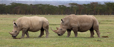 White Rhinoceros. Two white rhinoceros at Lake Nakuru Royalty Free Stock Photography