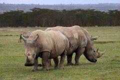 White Rhinoceros. At Lake Nakuru Royalty Free Stock Image
