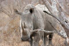 White rhinoceros. Sabi Sands, Kruger National Park, South Africa Royalty Free Stock Photo