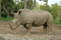 White Rhinoceros. In Chiangmai Night Safari Thailand Royalty Free Stock Images