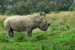 White rhinoceros Royalty Free Stock Photography