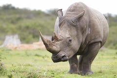 White rhinoceros. A large male white rhinoceros Stock Photo