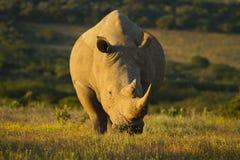 White rhinoceros. A white rhinoceros feeding on a grassland Stock Images