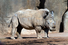 White Rhinoceros. Bioparc In Valencia Spain Stock Photos