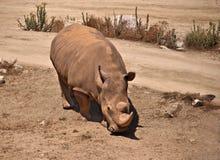 White Rhinoceros Stock Photo