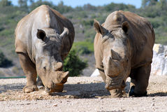 White rhinoceros. Two white rhinoceroses of face Stock Image