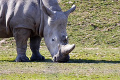 White rhinoceros. Or square-lipped rhinoceros (Ceratotherium simum stock photography
