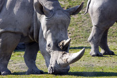 White rhinoceros. Or square-lipped rhinoceros (Ceratotherium simum royalty free stock images