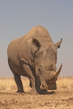 White rhinoceros. Massive animal; dark-grey skin; two horns composed of matted, hairliked filaments; threatened, but responds well to aggressive conservation Stock Photo