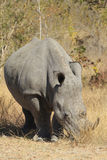 White Rhinoceros. White Rhino in Kruger  National Park Stock Photography